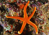 Echinoderms : Starfish, Brittle Stars, Sea Cucumbers, Urchins, Feather Stars