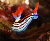 Sea Slugs (placeholder gallery only) : please go this site temporarily for the nudibranch id